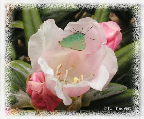 Edelweiss_butterfly_500