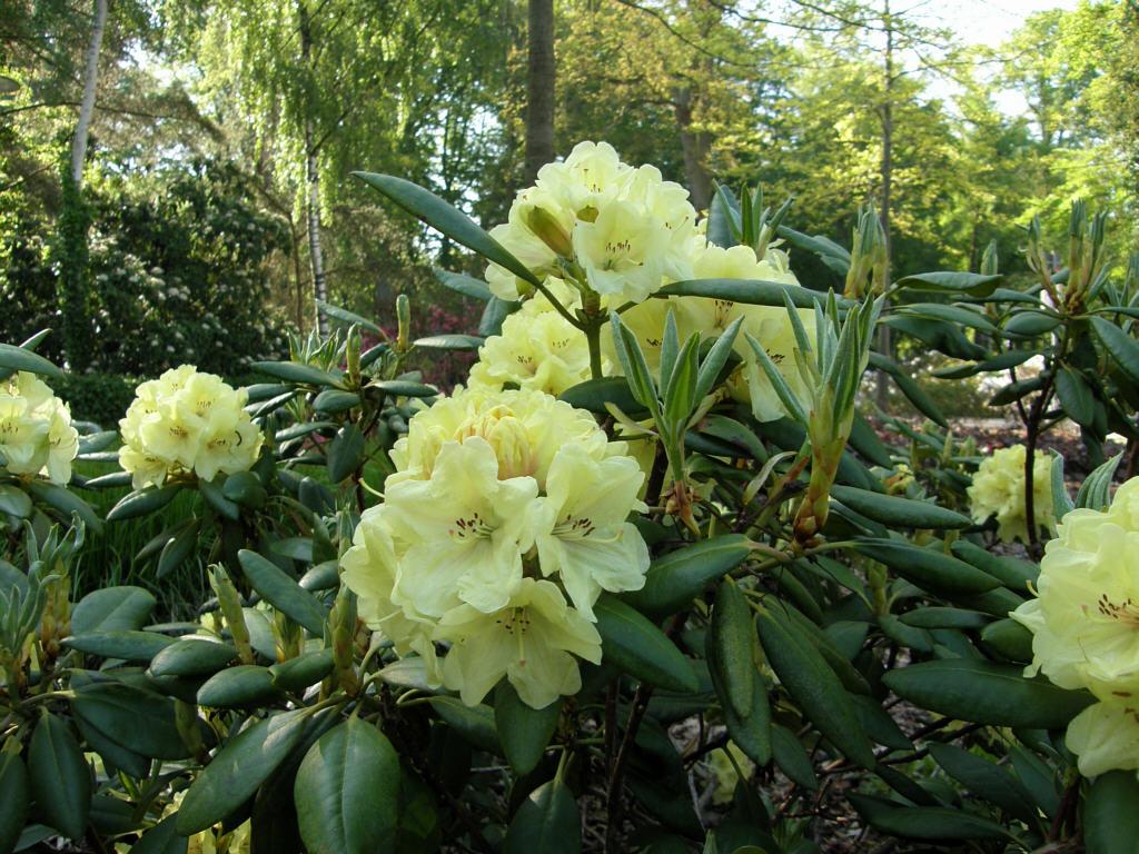 germany 2010 rhododendron park bremen p5218492 bohlkens laura. Black Bedroom Furniture Sets. Home Design Ideas