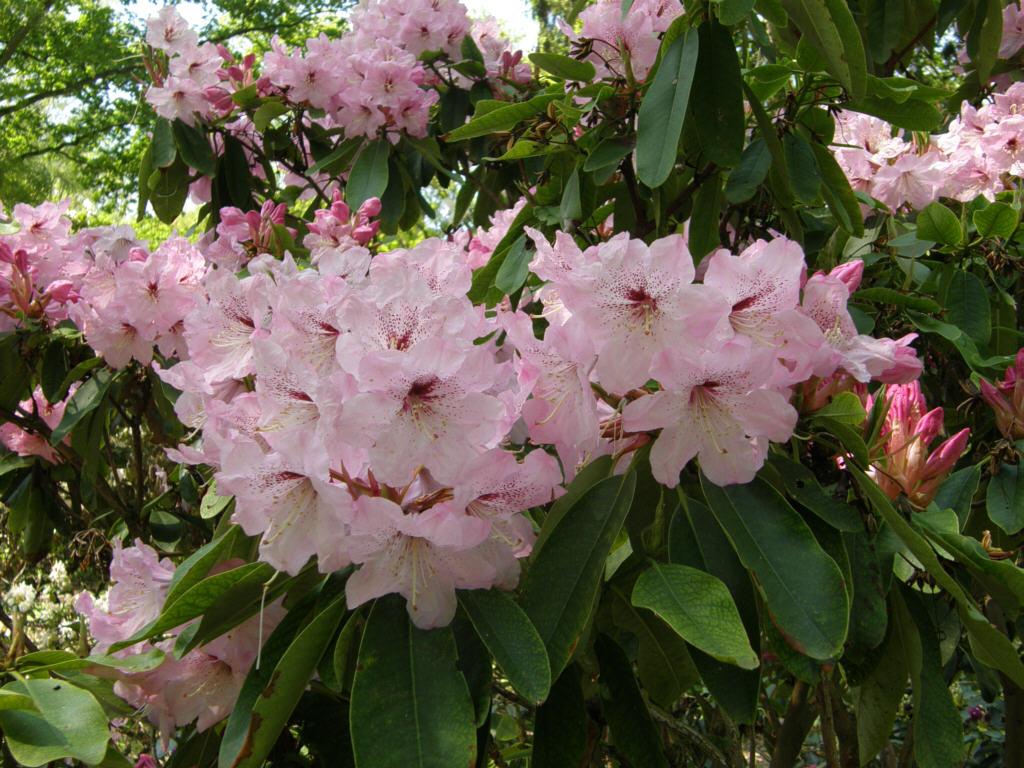 germany 2010 rhododendron park bremen p5218512 johann c h berg. Black Bedroom Furniture Sets. Home Design Ideas