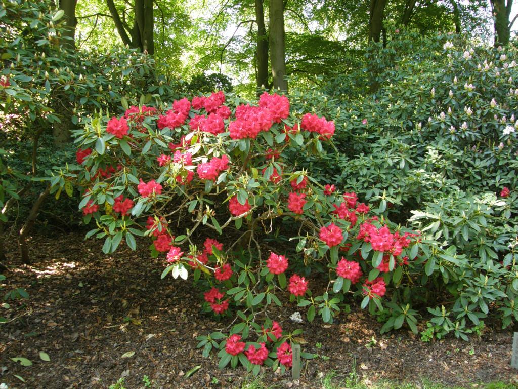 germany 2010 rhododendron park bremen p5218525 britannia. Black Bedroom Furniture Sets. Home Design Ideas