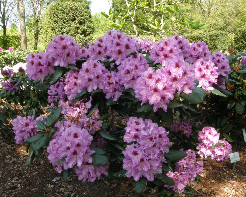 germany 2010 rhododendron park bremen p5218541 humboldt. Black Bedroom Furniture Sets. Home Design Ideas