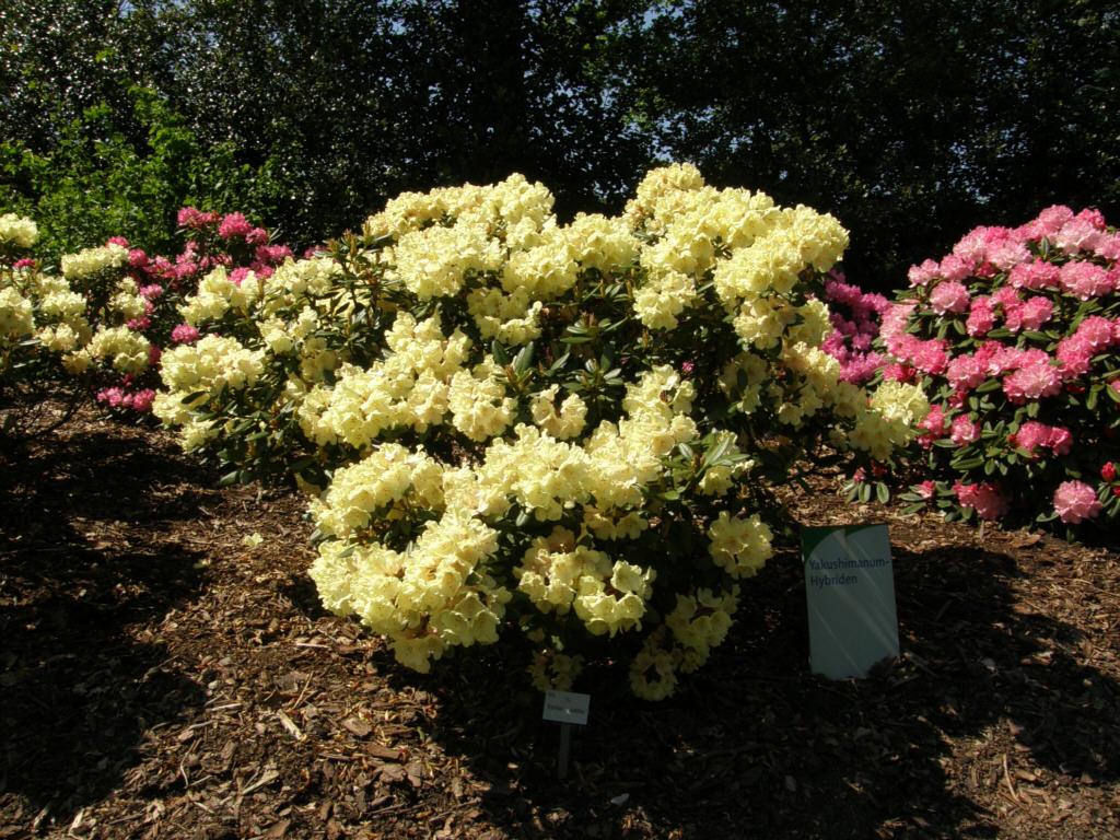 germany 2010 rhododendron park bremen p5218551 bohlkens juditha. Black Bedroom Furniture Sets. Home Design Ideas