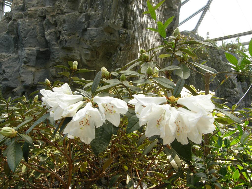 germany 2010 rhododendron park bremen p5218566 maddenii. Black Bedroom Furniture Sets. Home Design Ideas
