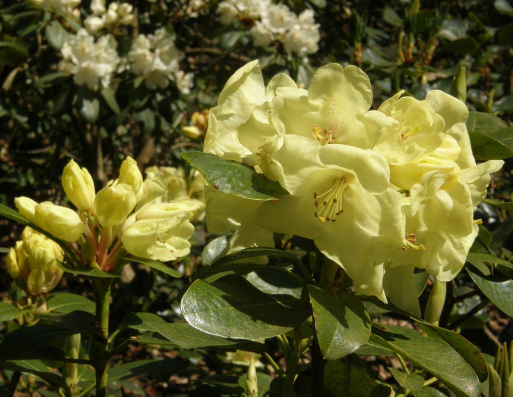 germany 2010 rhododendron park bremen p5218579 tamina. Black Bedroom Furniture Sets. Home Design Ideas