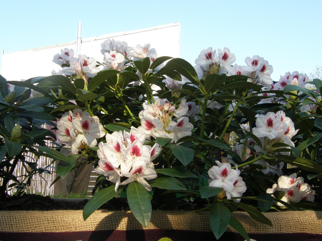 germany 2010 rhododendron park bremen p5218625 berndt. Black Bedroom Furniture Sets. Home Design Ideas