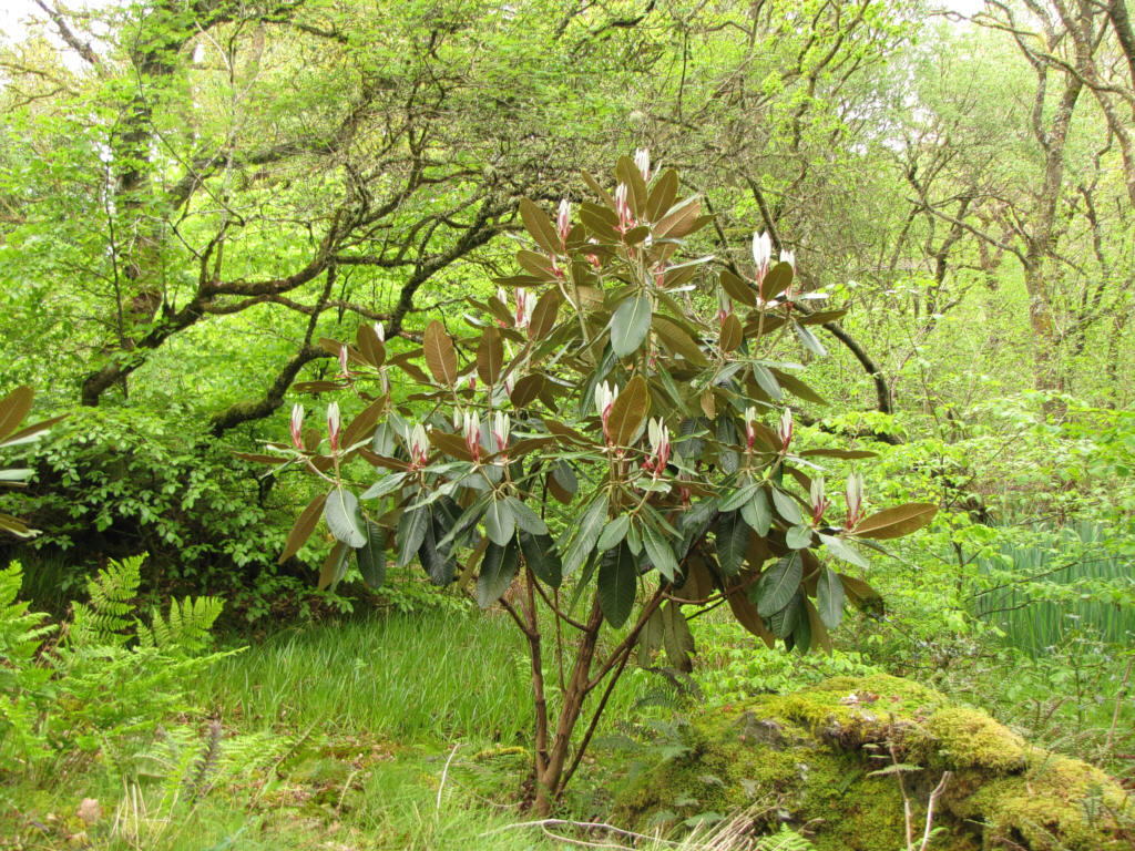 Rhododendron rex on list flowers