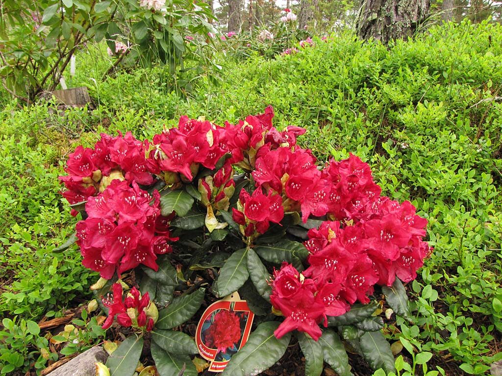 back to catalogue paluu hakemistoon rhododendrons 2015. Black Bedroom Furniture Sets. Home Design Ideas